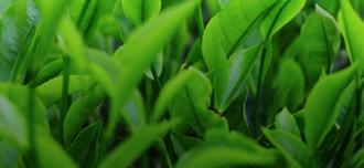 Saison Green Tea