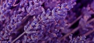 Saison Lavender