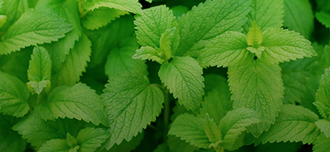 Saison Lemon Balm